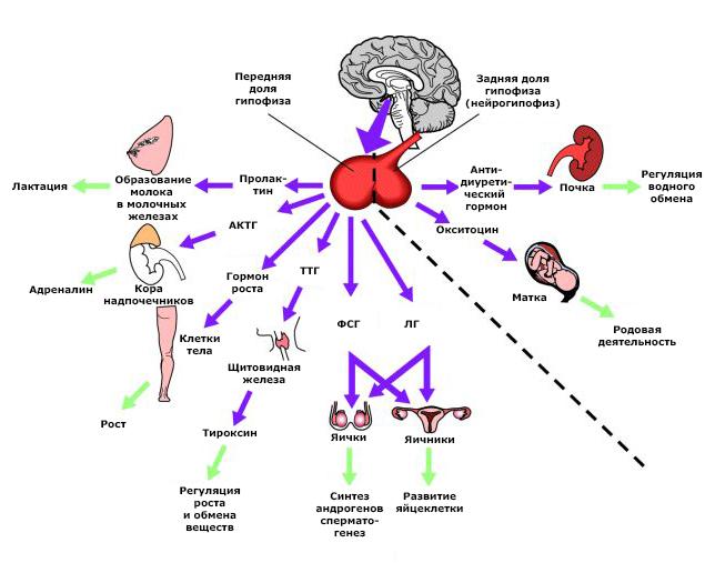 Гипофиз в инфографике